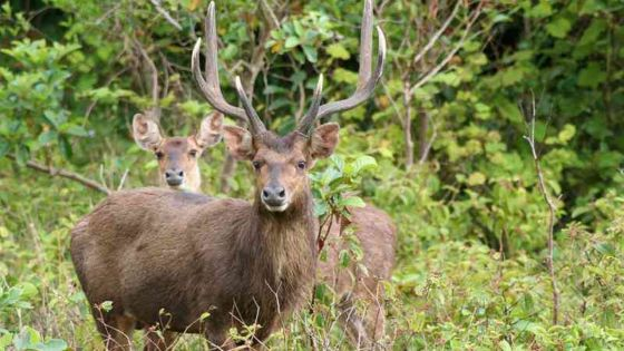 Saison de chasse : entre 500 et 550 tonnes de viande de cerf attendue