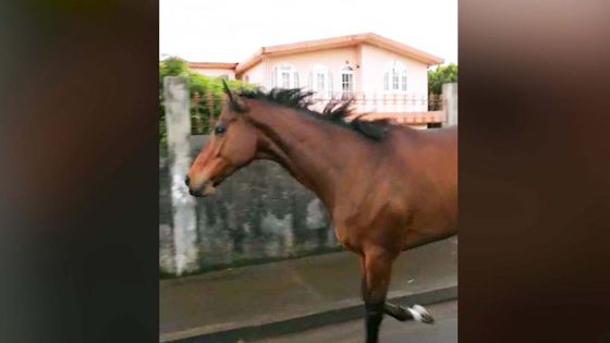 Club hippique de Floréal : un cheval file à la … mauricienne pour une petite escapade