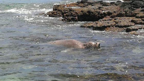 Un phoque dans les eaux mauriciennes : le public est prié de ne pas s'approcher du mammifère qui peut mordre